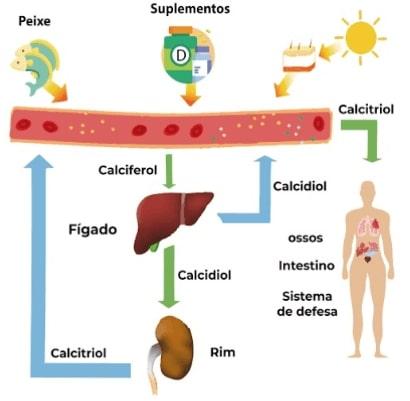 Desenho do funcionamento do metabolismo da vitamina D